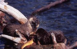 Two otters with trout at Trout Lake Photo