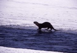 River otter in the Lamar River in the winter Photo