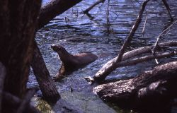 River otter - Trout Lake Photo