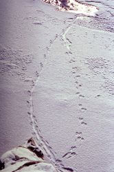 River otter tracks at the confluence of Soda Butte & Lamar River Photo