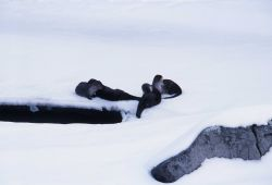 Four river otter grooming on Lamar River ice-Lamar Canyon Photo