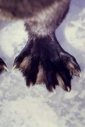 Rear foot of an otter Photo