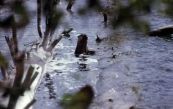 River otter in Yellowstone Lake Photo