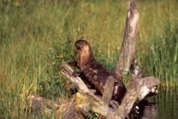 Otter on bank at Trout Lake Photo