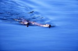 Two otters swimming at Trout Lake Photo