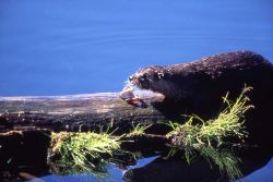 Otter eating fish on log at Trout Lake Photo