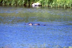 Otters playing at Trout Lake Photo