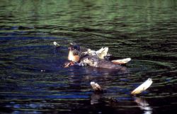 Three otters with fish at Trout Lake Photo