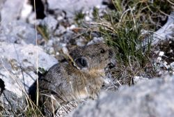 Pika among rocks Photo
