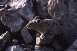 Pika near the northeast entrance Photo
