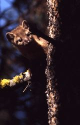Pine marten in tree Photo