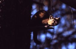 Pine marten crouched on stub Photo