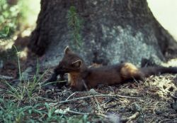 Pine marten eating near base of a tree Photo