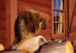Porcupine on wood stack Photo
