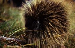 Front view of a porcupine Photo