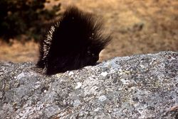 Porcupine in the Tower Falls area Photo