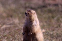 Prairie dog at Devil's Tower, Wyoming Photo