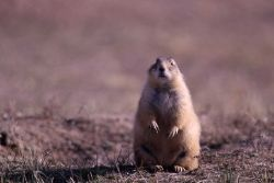 Prairie dog at Devil's Tower, Wyoming Photo