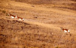 Pronghorn antelope buck & harem Photo