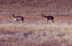 Pronghorn antelope Photo