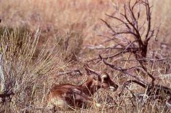 Pronghorn antelope kid Photo