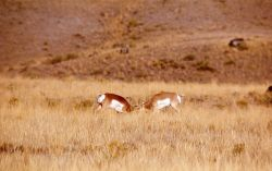 Pronghorn antelope bucks fighting Photo