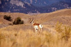 Pronghorn antelope buck Photo