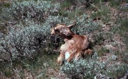 Pronghorn antelope kid hiding in sagebrush on Specimen Ridge Photo