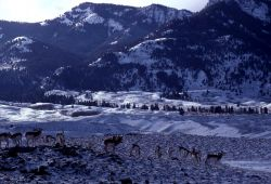 Pronghorn antelope in snow with mountains in the background Photo