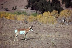 Pronghorn antelope with fall colors in background Photo