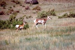 Pronghorn antelope doe & kid Photo