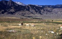 Pronghorn antelope in Gardiner, Montana Photo
