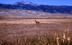 Pronghorn antelope with Electric Peak in the background Photo
