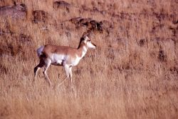 Pronghorn antelope doe Photo