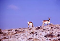 Pronghorn antelope buck & doe Photo