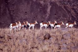 Group of pronghorn antelope does Photo
