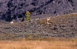 Pronghorn antelope at Little America Flats Photo