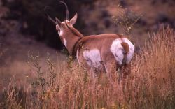 Collared pronghorn antelope Photo