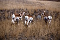 Four pronghorn antelope in Lamar Valley Photo