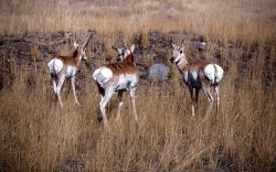 Three pronghorn antelope near Gardiner Photo