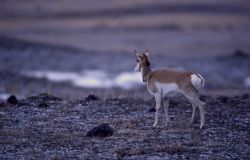 Collared pronghorn antelope near Stephens Creek Photo