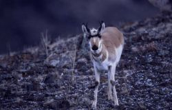 Pronghorn antelope near Stephens Creek Photo