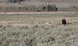 Pronghorn & bison in Lamar Valley Photo