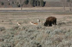 Pronghorn bison in Lamar Valley Photo