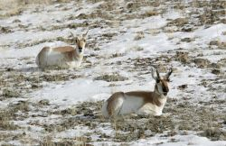 Pronghorn doe & buck northwest of Gardiner, MT Photo