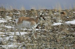 Pronghorn buck northwest of Gardiner, MT Photo