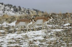 Two pronghorn bucks northwest of Gardiner, MT Photo