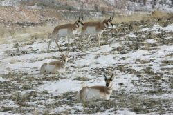 Pronghorn northwest of Gardiner, MT Photo
