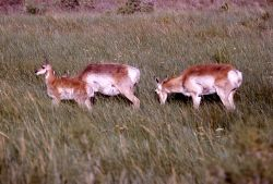 Pronghorn antelope Photo