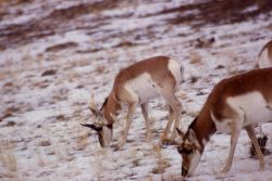 Pronghorn antelope on Mt Everts with snow Photo